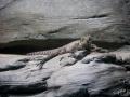 Manly Sea Life Sanctuary lezard
