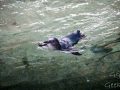 Manly Sea Life Sanctuary pingouins 10