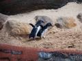 Manly Sea Life Sanctuary pingouins 5