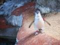 Manly Sea Life Sanctuary pingouins 6