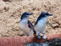 Manly Sea Life Sanctuary pingouins 7
