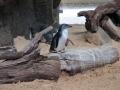 Manly Sea Life Sanctuary pingouins 8