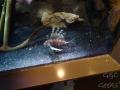 Manly Sea Life Sanctuary poisson poilu 2