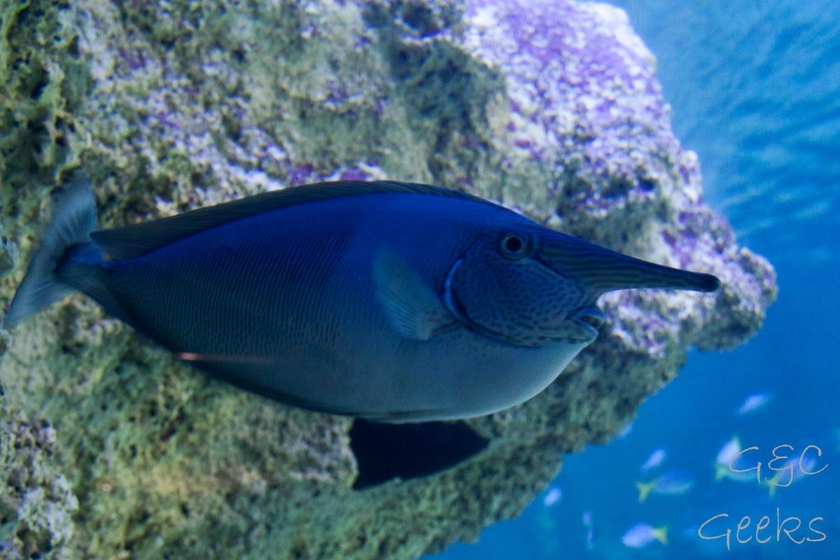 Sydney Sealife Aquarium poisson gros nez