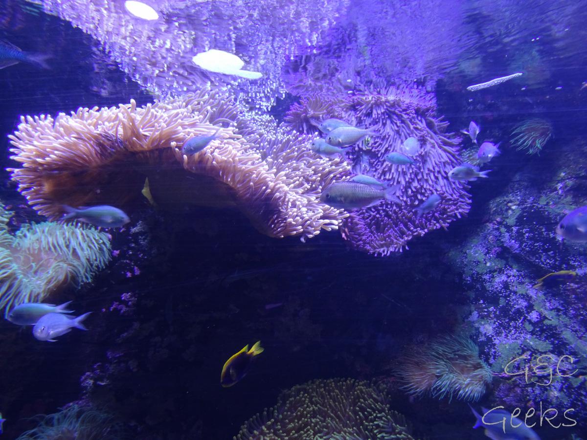 Sydney Sealife Aquarium poissons et anemonie 3