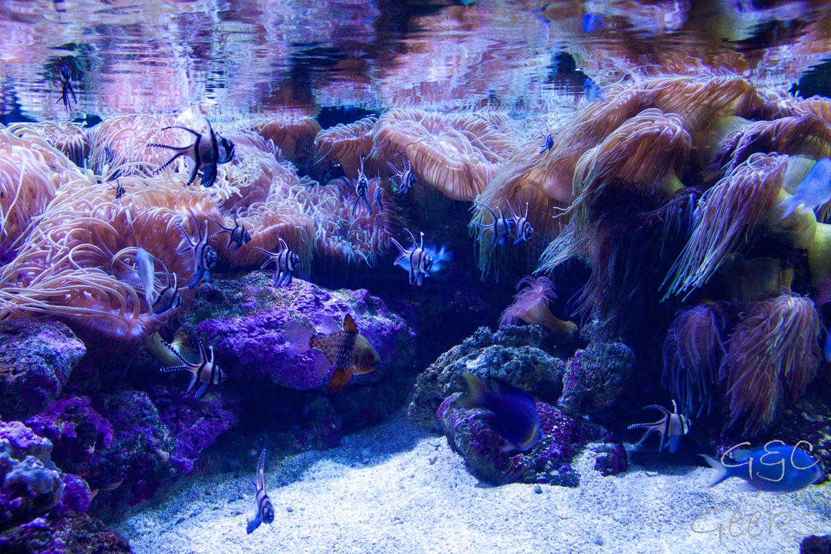 Sydney Sealife Aquarium poissons et anemonie 6