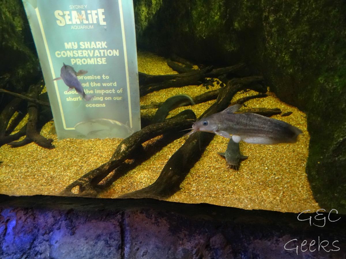 Sydney Sealife Aquarium poissons moustachus