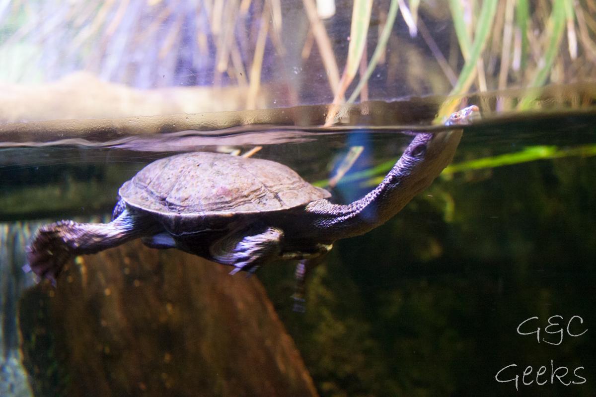 Sydney Sealife Aquarium tortues 2