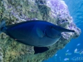 Sydney Sealife Aquarium poisson gros nez