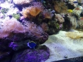 Sydney Sealife Aquarium poissons et anemonie