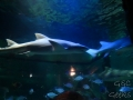 Sydney Sealife Aquarium requins pas content