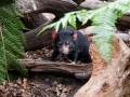 Wildlife Sydney Zoo Diable de Tasmanie 2