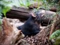 Wildlife Sydney Zoo Diable de Tasmanie