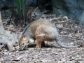 Wildlife Sydney Zoo Kangourou 3