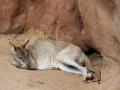 Wildlife Sydney Zoo Kangourou 4