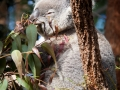 Wildlife Sydney Zoo Koala (2)