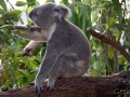Wildlife Sydney Zoo Koala 5