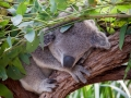 Wildlife Sydney Zoo Koala 6
