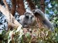 Wildlife Sydney Zoo Koala