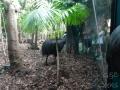 Wildlife Sydney Zoo casowar 2
