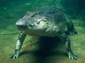 Wildlife Sydney Zoo crocodile 2