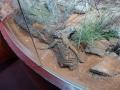 Wildlife Sydney Zoo lezards 3