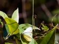 papillon kondalilla falls