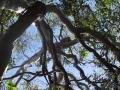 koala dans un arbre noosa