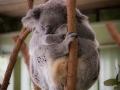 lone pine koala sanctuary koala endormi