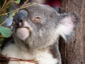 lone pine koala sanctuary koala retraité qui mange 2