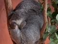 lone pine koala sanctuary koalas bébé koala