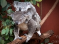 lone pine koala sanctuary koalas famille 8