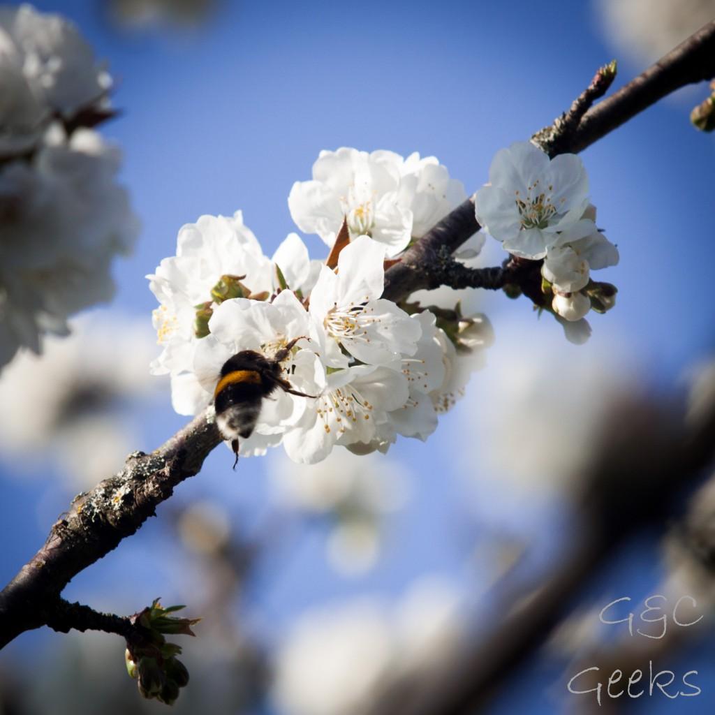cerisier-fleur-projet52