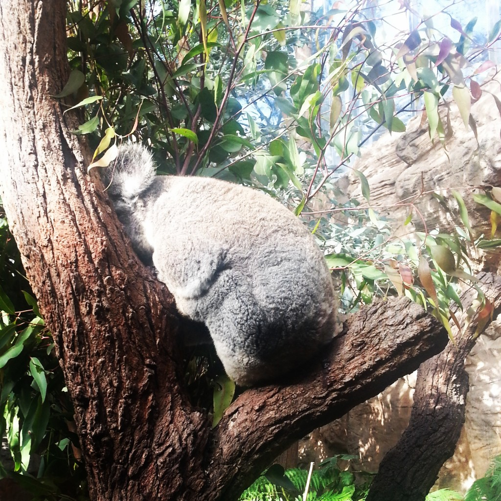 6-koala wildlife zoo