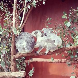 7- famille koala