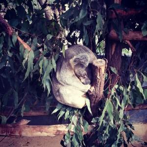 7- koala endormi