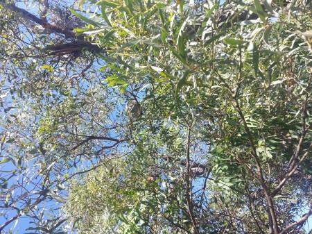 un petit koala se cache sur cette photo ...