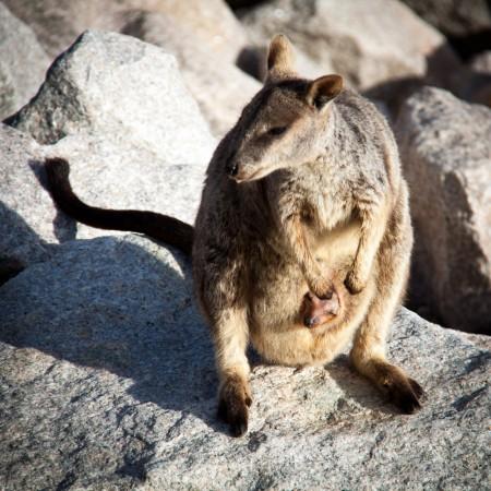 une maman wallaby avec son petit dans la poche