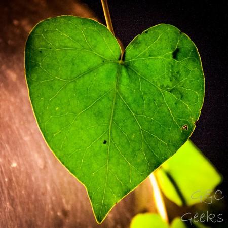 s1 lierre en forme de coeur