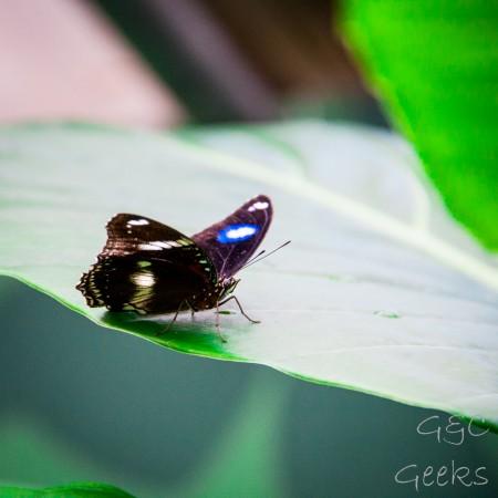s21 papillon
