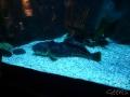 Sydney Sealife Aquarium gros poisson feignant