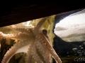 Sydney Sealife Aquarium poulpito 2