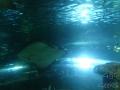 Sydney Sealife Aquarium raiemanta