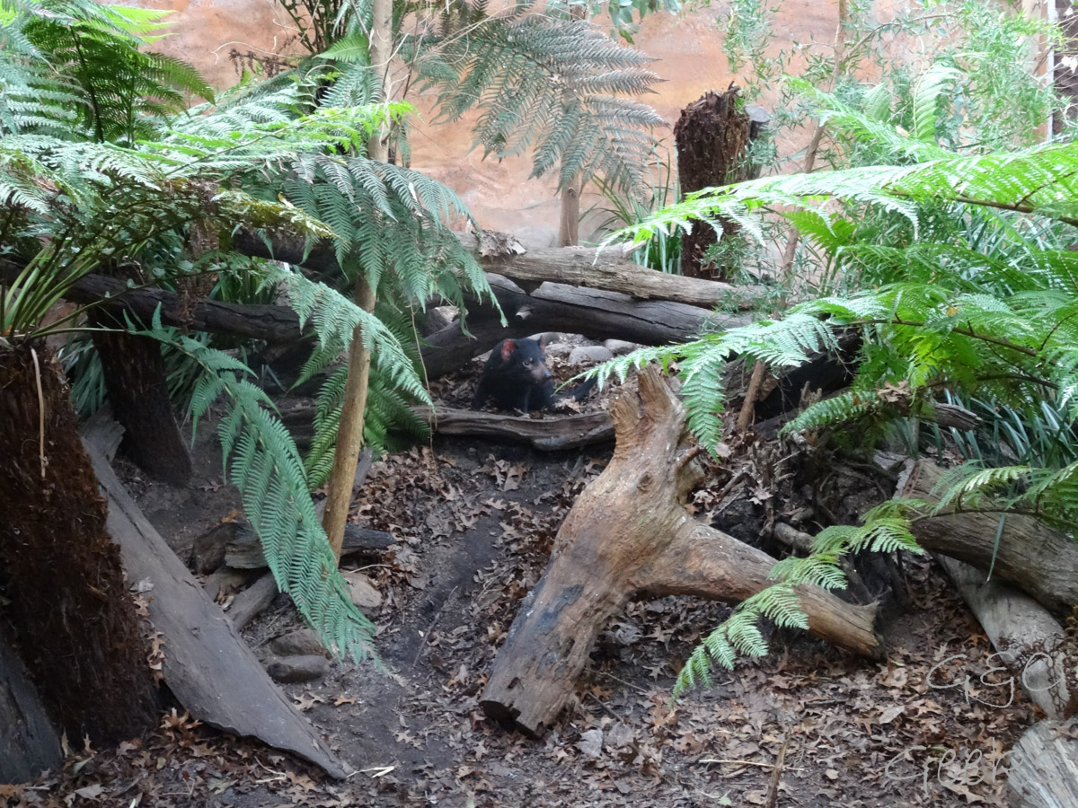 Wildlife Sydney Zoo Diable de Tasmanie 4