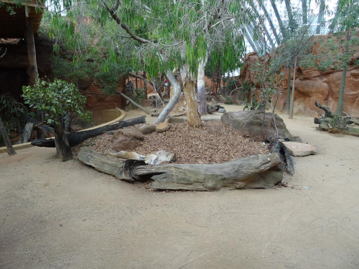 Wildlife Sydney Zoo Kangourou  9
