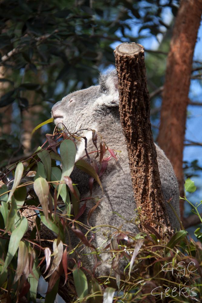 Wildlife Sydney Zoo Koala 3