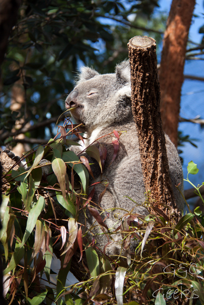 Wildlife Sydney Zoo Koala 4