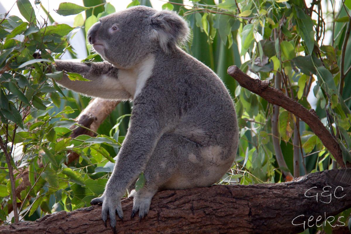 Wildlife Sydney Zoo Koala 5