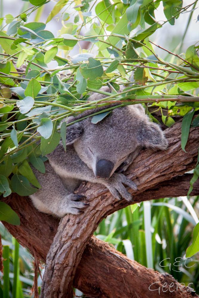 Wildlife Sydney Zoo Koala 6