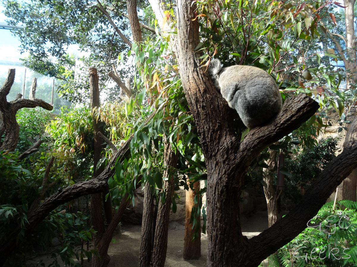 Wildlife Sydney Zoo Koala 7
